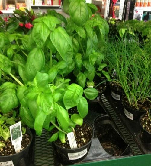 w-basil plants